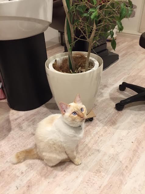山口市の猫カフェ 美容室シューケット店長のマイケル